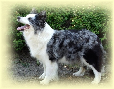 border collie Viva